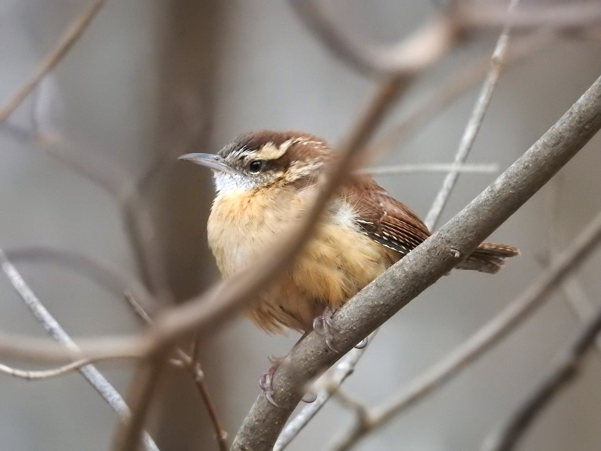 carolina wren on tree branch in reston virginia