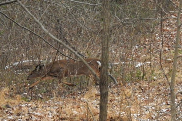 white-tailed deer runs through woods in reston virginia