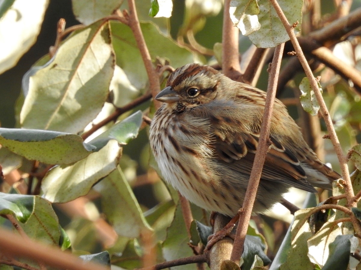 song sparrow in an evergreen bush in reston, virginia