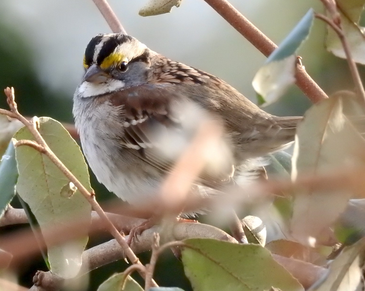 white-throated sparrow in an evergreen bush in reston, virginia